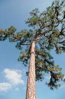Che Mangia Ponderosa Pine?
