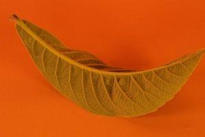 Perché ho macchie marroni sulle foglie di mio Marantha?