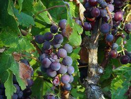 Posso pianta semi d'uva & Make una vigna?