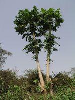 Come per piantare i semi dell'albero Paw Paw