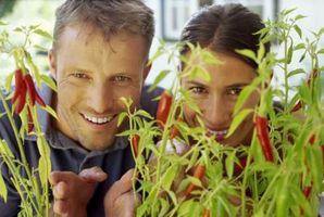 Come aiutare Pepper Piante con foglie gialle