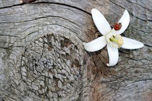 Fioritura alberi di agrumi