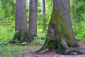 Che cosa è un muschio che cresce sui tronchi degli alberi?