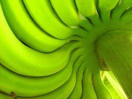 Qual è la classificazione scientifica di piante di banana?
