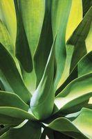 Agave è un cactus?