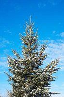 Help con Old alberi sempreverdi