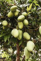 Come crescere un albero di mango