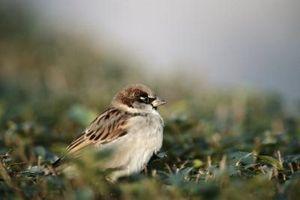 Che uccelli mangiano semi di miglio?