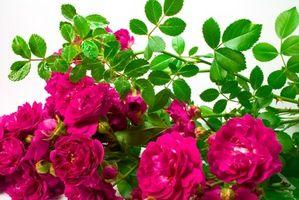 Come prendersi cura di Wild Rose Bush