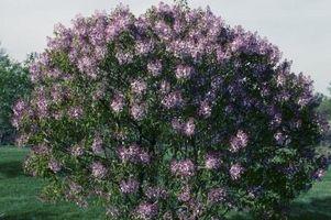 Quanto velocemente persiano lilla crescere?