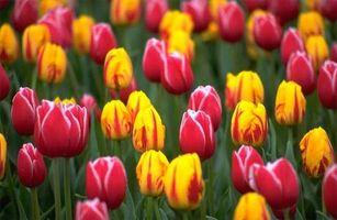 Quando piantare bulbi di tulipano nel sud della California