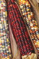 La germinazione del mais dolce Anasazi