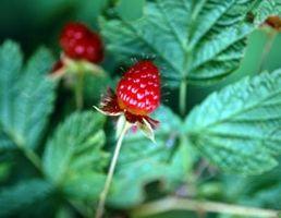 Fasi crescita della pianta Raspberry