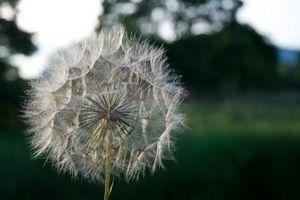 Come identificare un Weed con fiori blu
