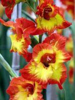 Gladiolus Fiori