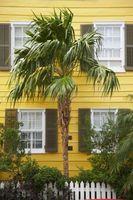 Do Palma foglie ingialliscono dopo il trapianto?
