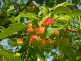 Che tipo di alberi di mele migliori Pollinate con l'altro?