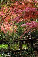 Alberi per Front Yards: Acero giapponese o sempreverde?