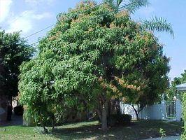 Come Trim un albero di mango