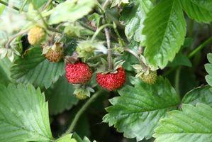 Pacciamatura per piante di fragola
