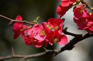 Arbusti da fiore che crescono in Shady aree in Zona 4