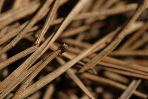 Growing Palme in aghi di pino pacciame