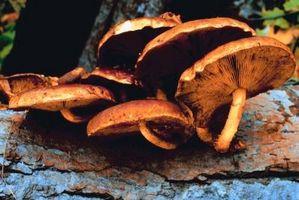 Possono funghi crescono Off Dead Wood?