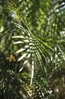 Suggerimento I danni su una palma pianta