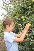 Quali Alberi da frutto crescono bene in Ohio?