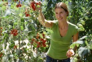 Che cosa indica quando si vede macchie nere sulla Pomodori verdi sulla vite?