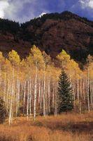 Un elenco dei tipi di alberi invasive