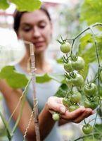 Come usare terra di diatomee per pomodori