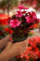 Quanto tempo per crescere un fiore in un vaso?