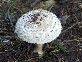 Tipi di funghi che crescono in Yards popolare