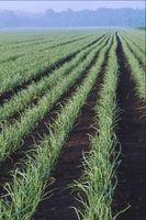 Quali sono le migliori fertilizzanti da utilizzare per ottenere grosse cipolle?