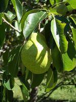 Alberi pera con foglie nere e neri pere