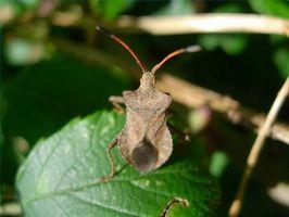Controllo Squash Bug