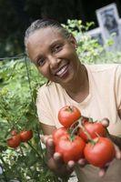 Giardino parassiti che mangiare pomodori