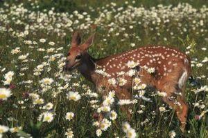 Deer-Resistant Mix Wildflower del seme