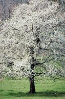 Come coltivare bianco fioritura Dogwood