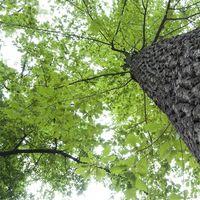 Elenco degli alberi della quercia