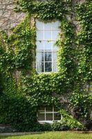Fare Ivy piante hanno bisogno di terreno per crescere?