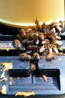 Come sbarazzarsi delle api nel cortile con Home rimedi