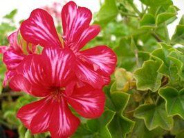Come piantare talee Geranium