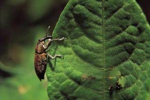 Tipi di bug che piace mangiare Roses