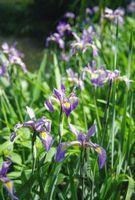 La lunghezza delle radici di Louisiana Iris