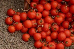 Come Pomodori Puntata