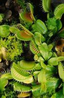Come coltivare Venus Fly Trap esterna