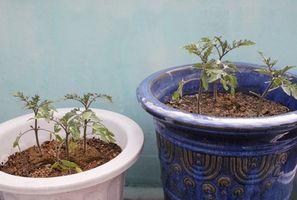 Ha troppo fertilizzante Causa Foglie gialle su una pianta di pomodoro?