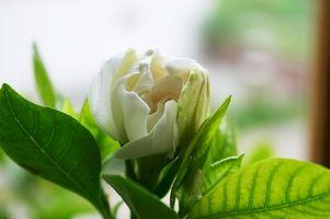 Quanto Sun Do Gardenias bisogno?